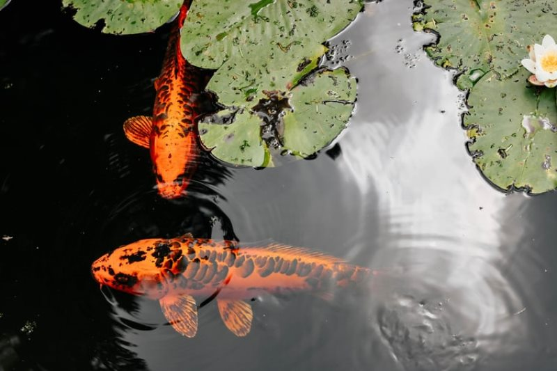 Jangan Asal Pilih Yuk Intip Makanan Ikan Arwana Berdasarkan